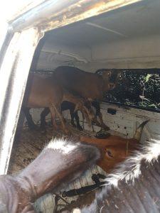 Animais foram encontrados no interior da Kombi. Foto: Divulgação BM